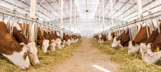 KOSGEB Hayvancılık Hibe ve Faizsiz Kredi Destekleri Almak