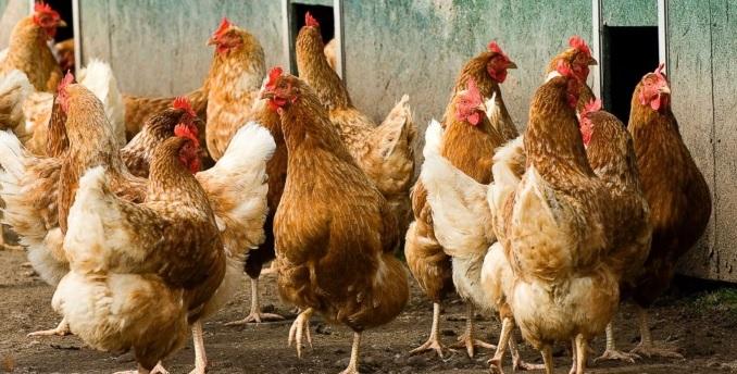 Tavuk Çiftliği Kredisi Nedir ve Nasıl Başvuru Yapılır?
